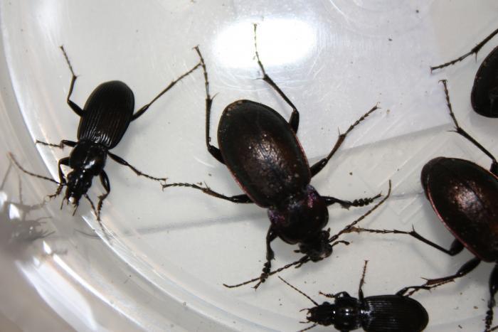 Черные жучки в квартире
